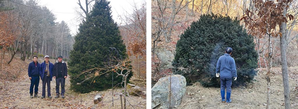 주목나무 크기비교.jpg